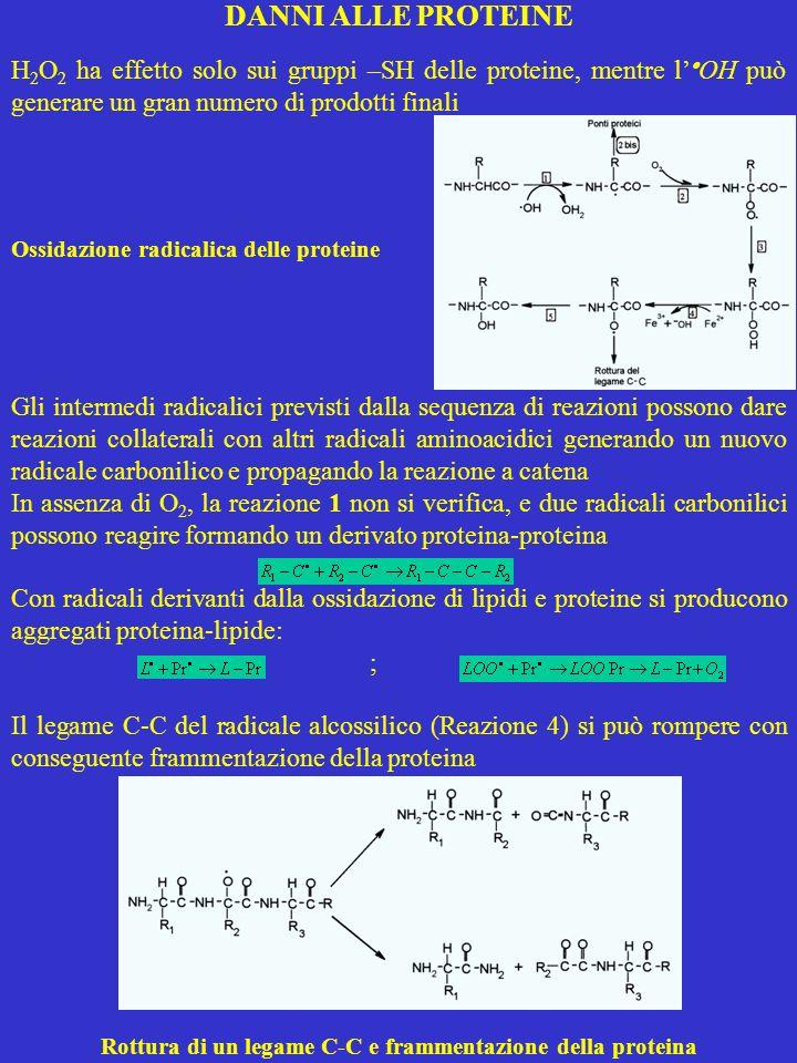 Rottura di un legame C-C e frammentazione della proteina