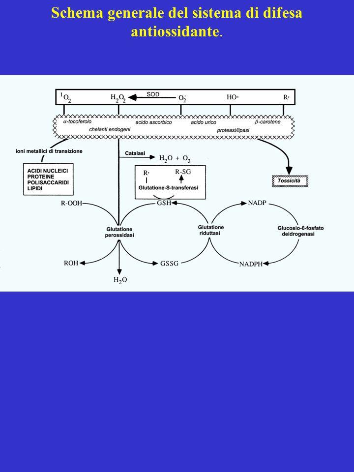 Schema generale del sistema di difesa antiossidante.