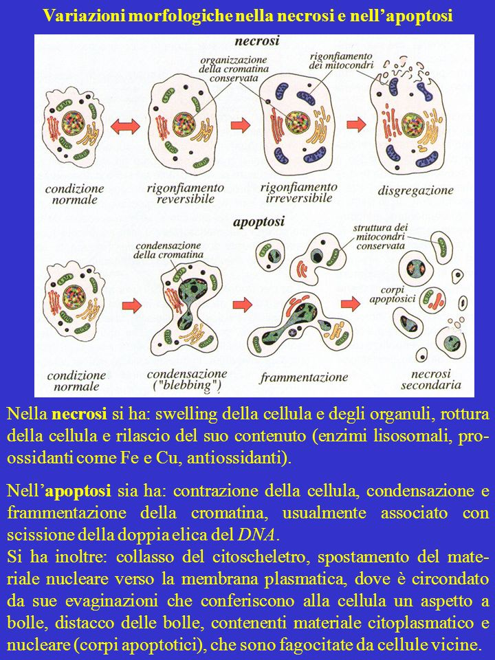 Variazioni morfologiche nella necrosi e nell'apoptosi