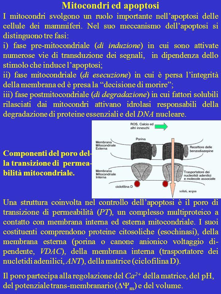Mitocondri ed apoptosi