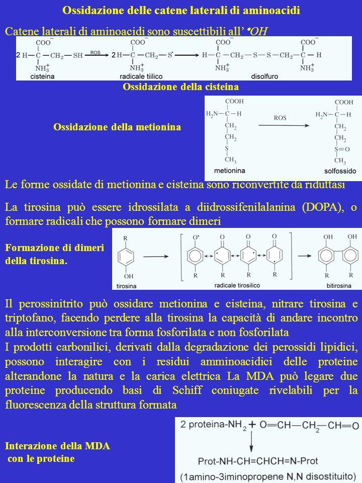 Ossidazione delle catene laterali di aminoacidi