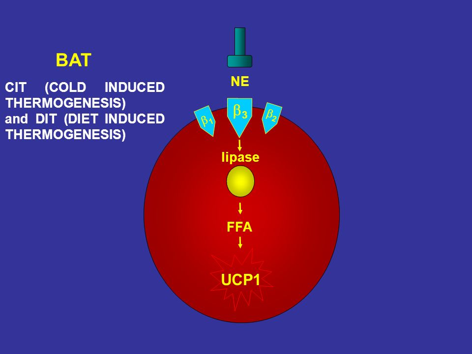 BAT b3 UCP1 NE CIT (COLD INDUCED THERMOGENESIS)