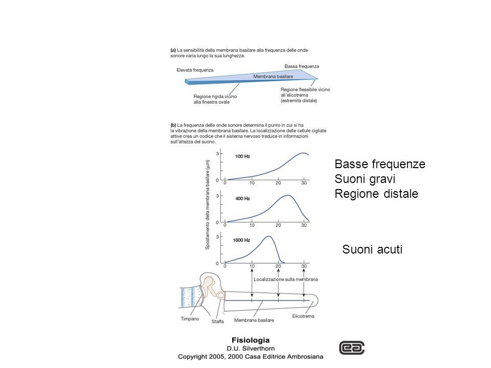 Basse frequenze Suoni gravi Regione distale Suoni acuti