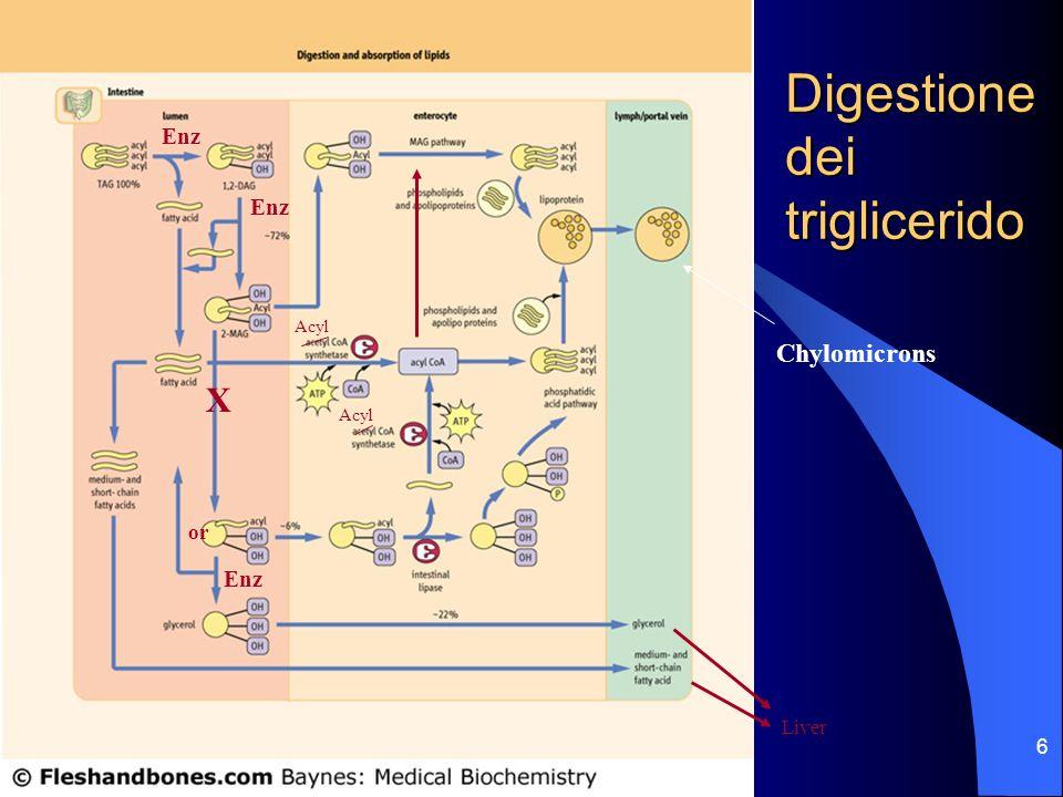 Digestione dei triglicerido