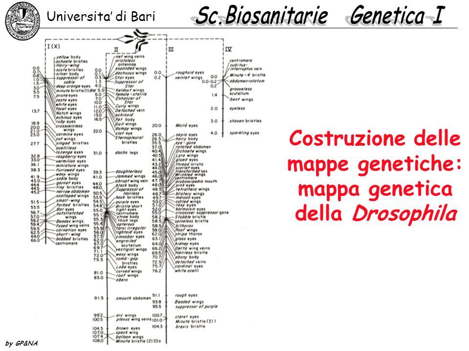 Costruzione delle mappe genetiche: mappa genetica della Drosophila