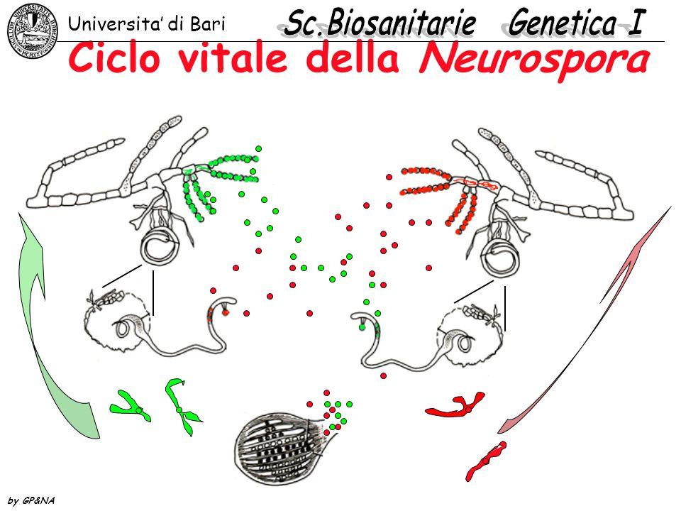 Ciclo vitale della Neurospora