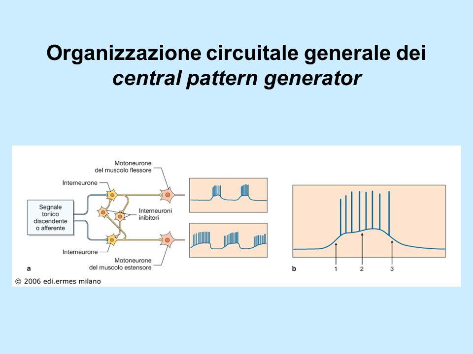 Organizzazione circuitale generale dei central pattern generator