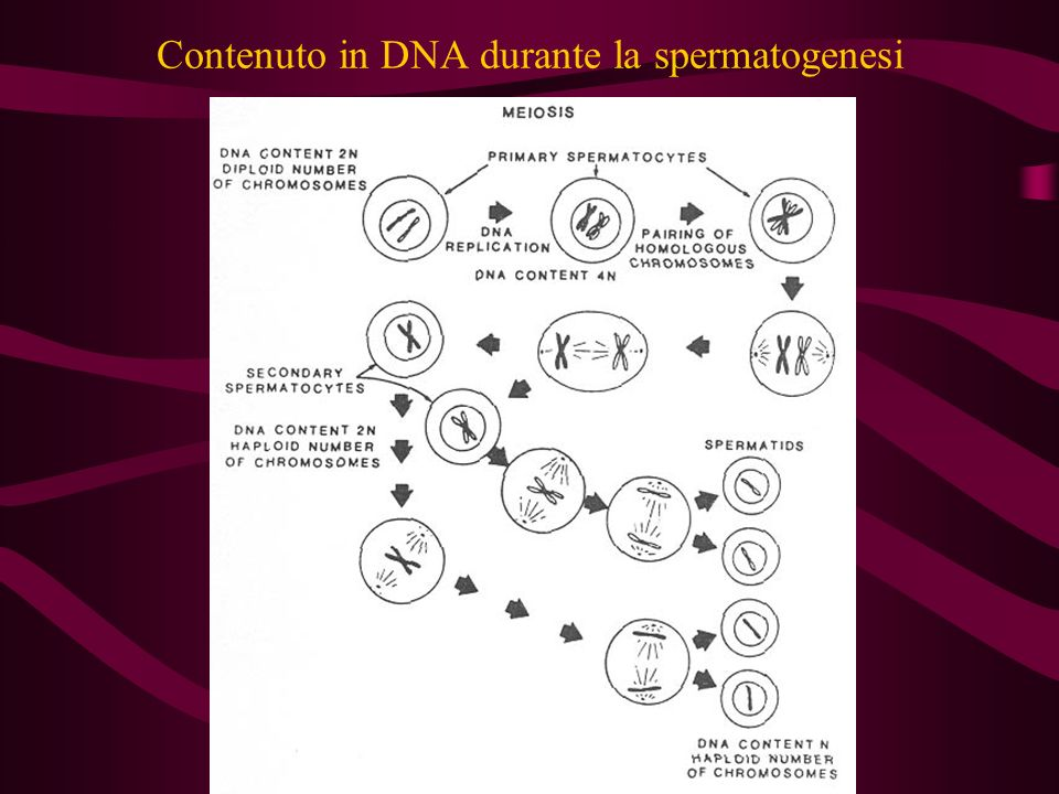 Contenuto in DNA durante la spermatogenesi