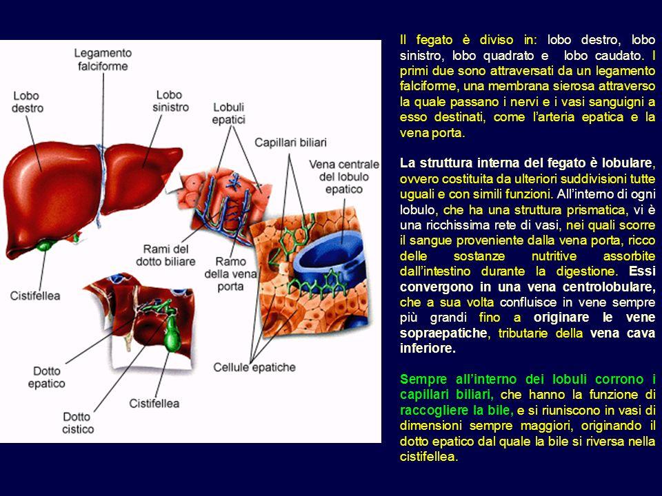 Il fegato è diviso in: lobo destro, lobo sinistro, lobo quadrato e lobo caudato. I primi due sono attraversati da un legamento falciforme, una membrana sierosa attraverso la quale passano i nervi e i vasi sanguigni a esso destinati, come l'arteria epatica e la vena porta.