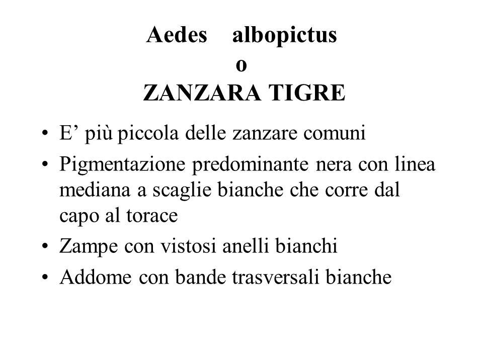 Aedes albopictus o ZANZARA TIGRE
