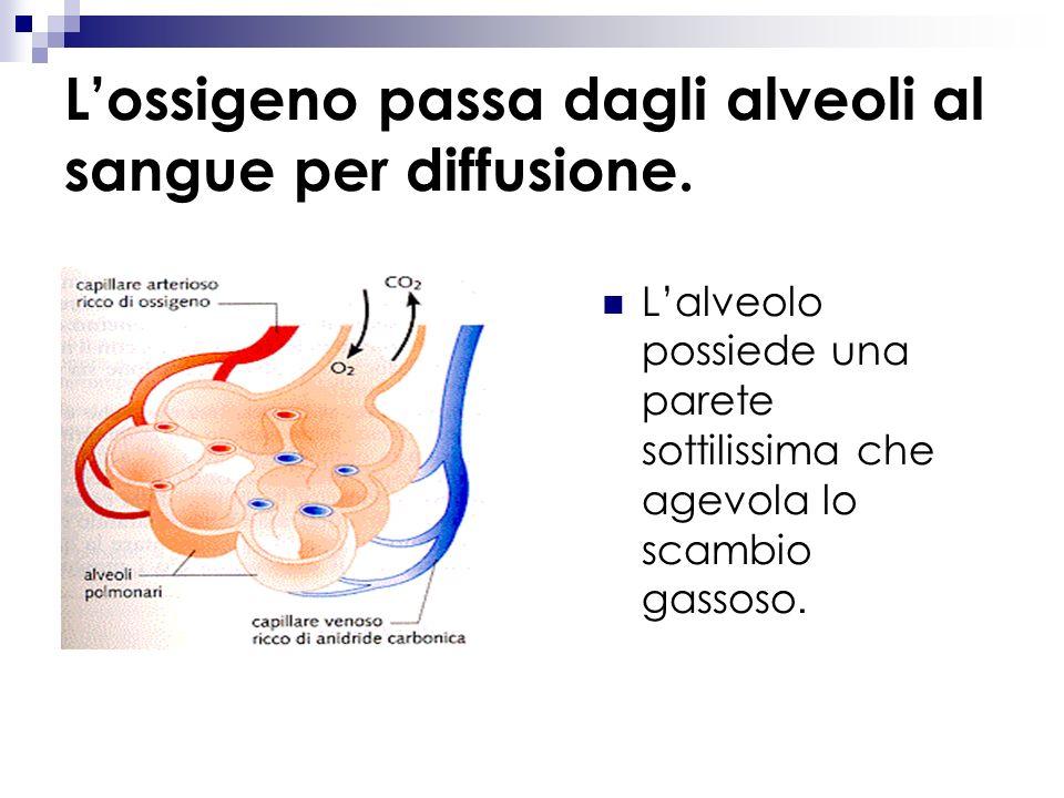 L'ossigeno passa dagli alveoli al sangue per diffusione.