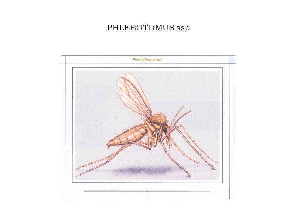 PHLEBOTOMUS ssp