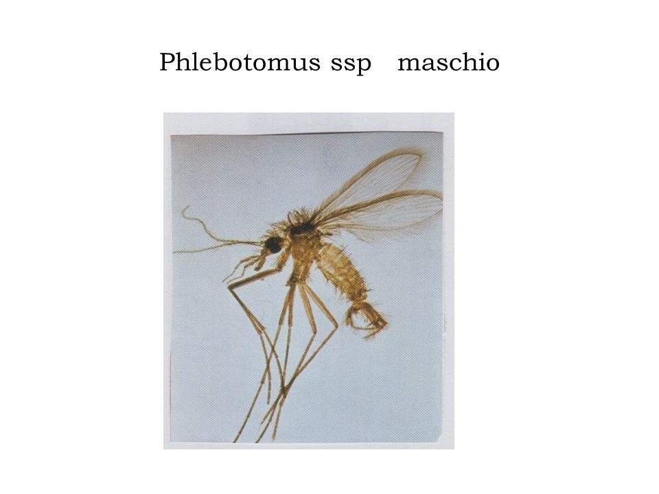 Phlebotomus ssp maschio
