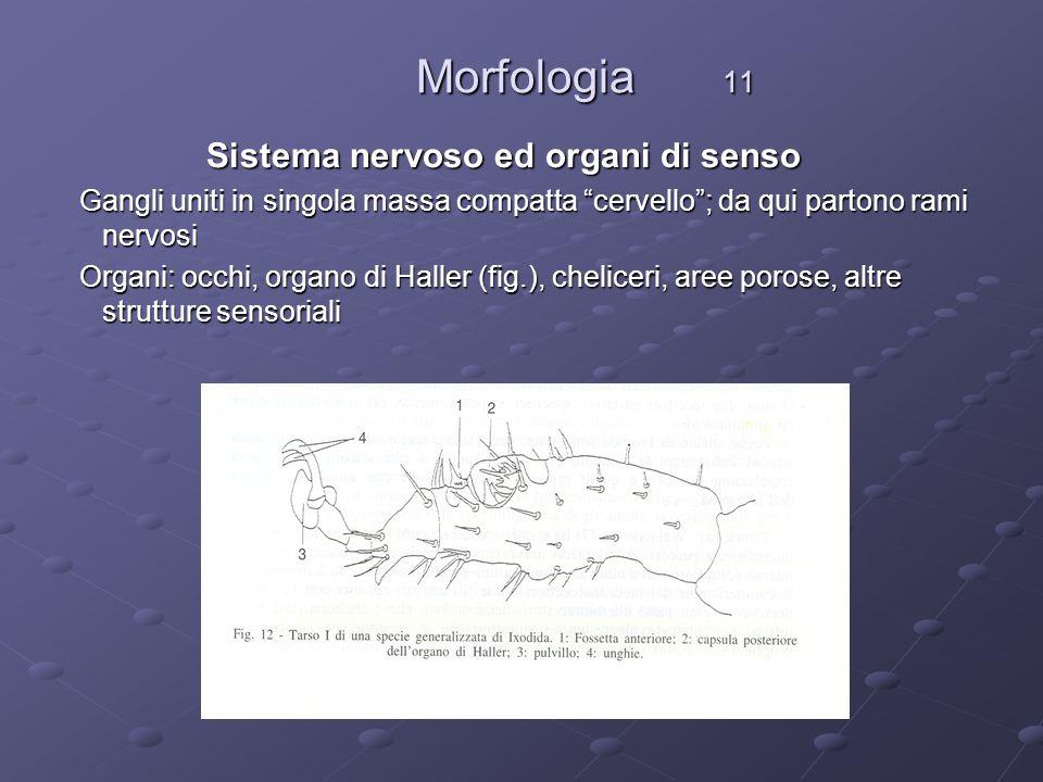 Morfologia 11 Sistema nervoso ed organi di senso
