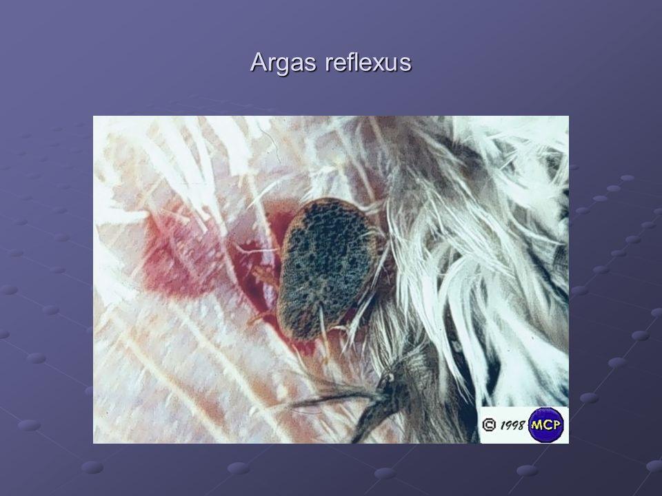 Argas reflexus