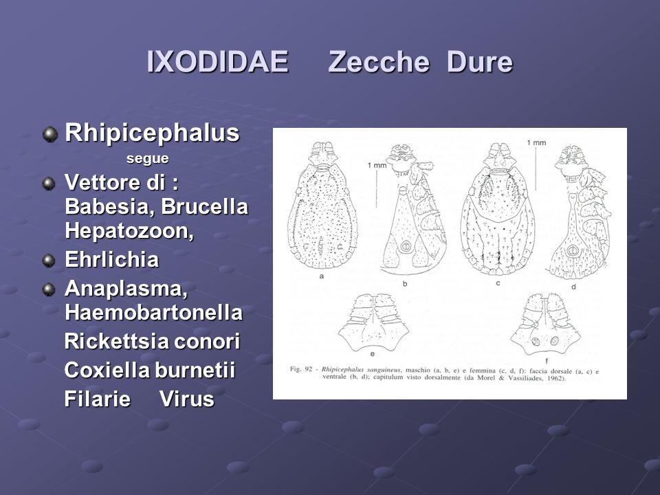 IXODIDAE Zecche Dure Rhipicephalus