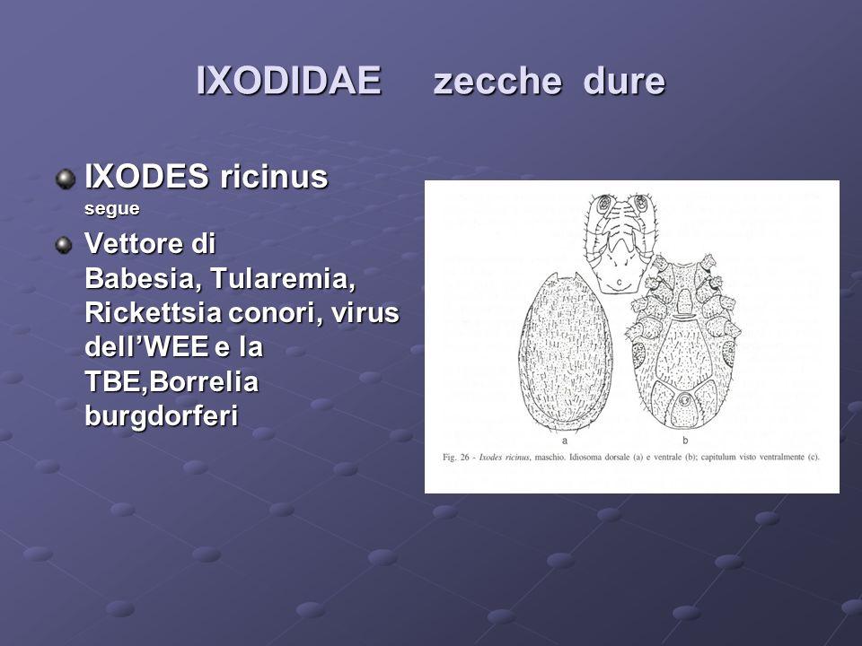 IXODIDAE zecche dure IXODES ricinus segue