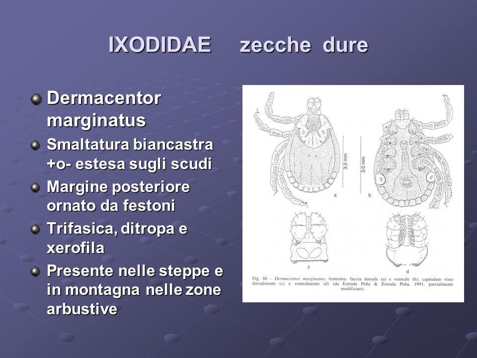 IXODIDAE zecche dure Dermacentor marginatus