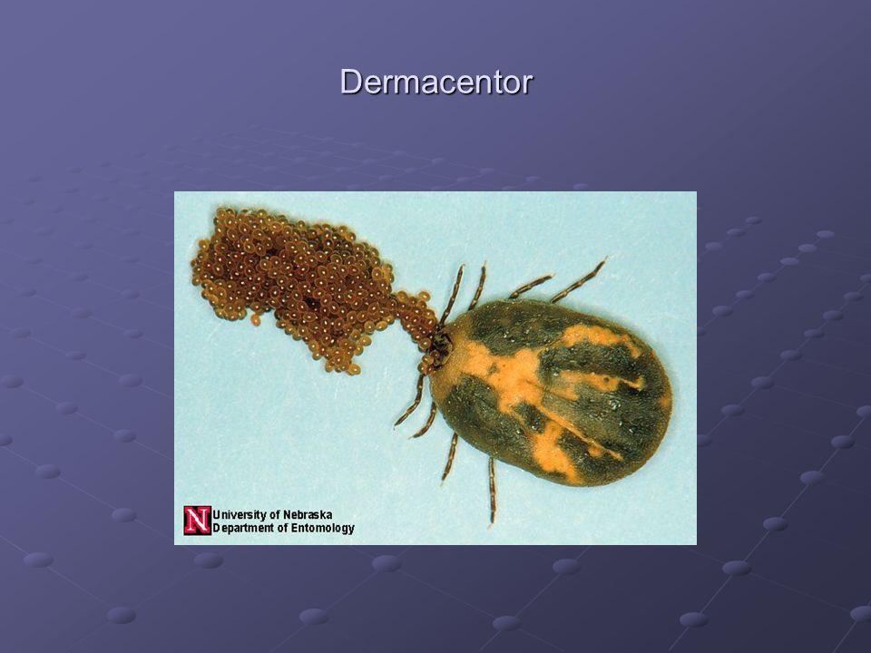 Dermacentor