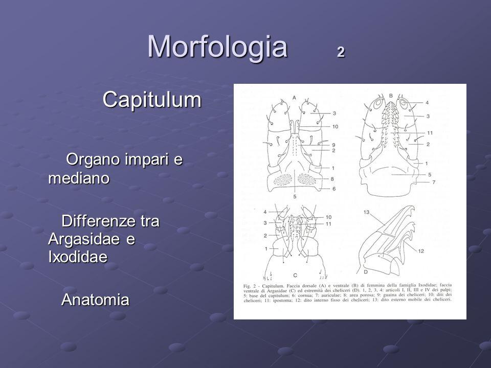 Morfologia 2 Capitulum Organo impari e mediano