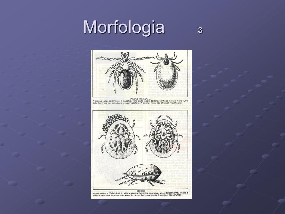 Morfologia 3