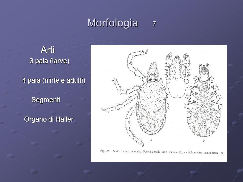 Morfologia 7 Arti 3 paia (larve) 4 paia (ninfe e adulti) Segmenti