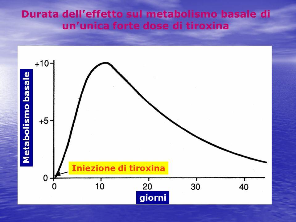 Durata dell'effetto sul metabolismo basale di un'unica forte dose di tiroxina