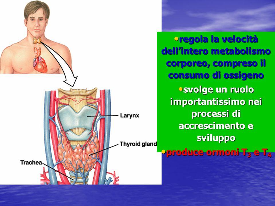 regola la velocità dell'intero metabolismo corporeo, compreso il consumo di ossigeno
