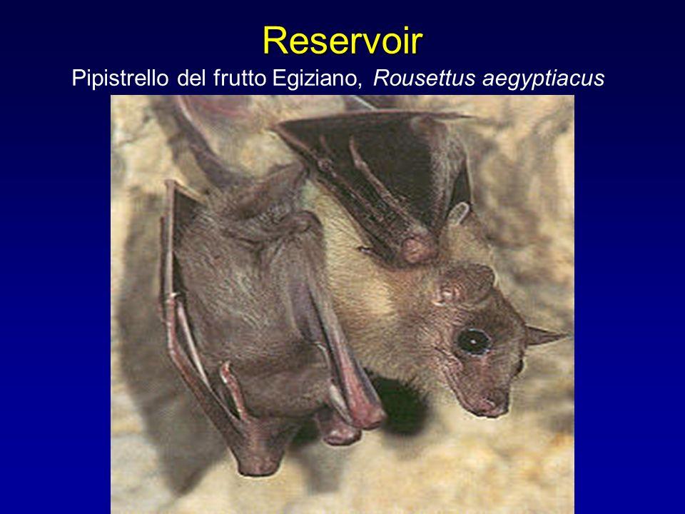 Pipistrello del frutto Egiziano, Rousettus aegyptiacus