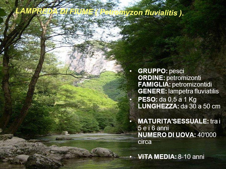 LAMPREDA DI FIUME ( Petromyzon fluvialitis ).