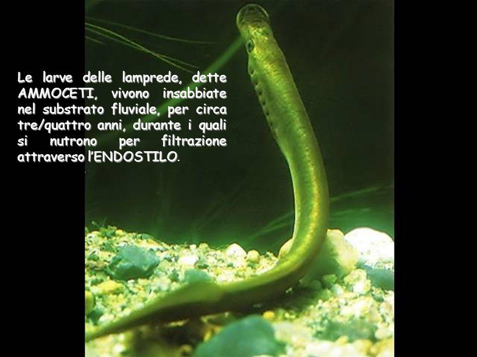 Le larve delle lamprede, dette AMMOCETI, vivono insabbiate nel substrato fluviale, per circa tre/quattro anni, durante i quali si nutrono per filtrazione attraverso l'ENDOSTILO.
