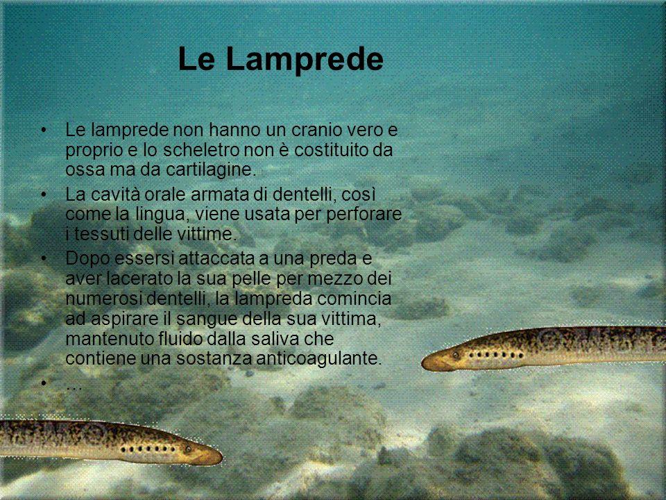 Le Lamprede Le lamprede non hanno un cranio vero e proprio e lo scheletro non è costituito da ossa ma da cartilagine.