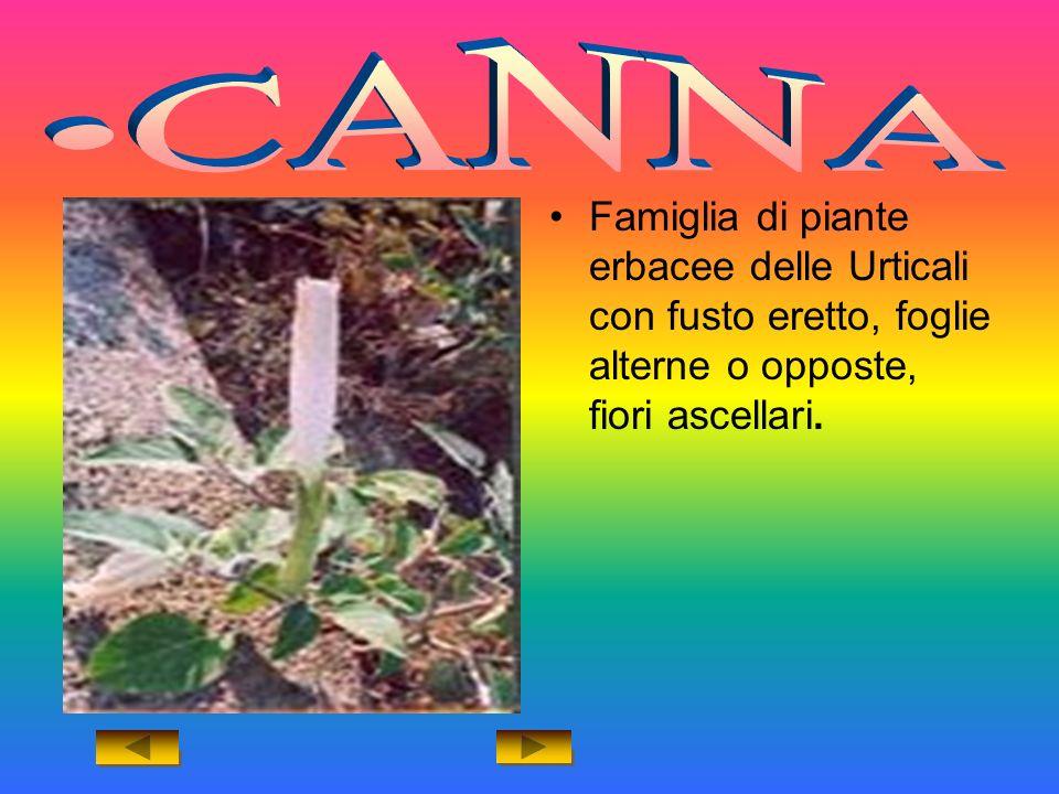 CANNA Famiglia di piante erbacee delle Urticali con fusto eretto, foglie alterne o opposte, fiori ascellari.