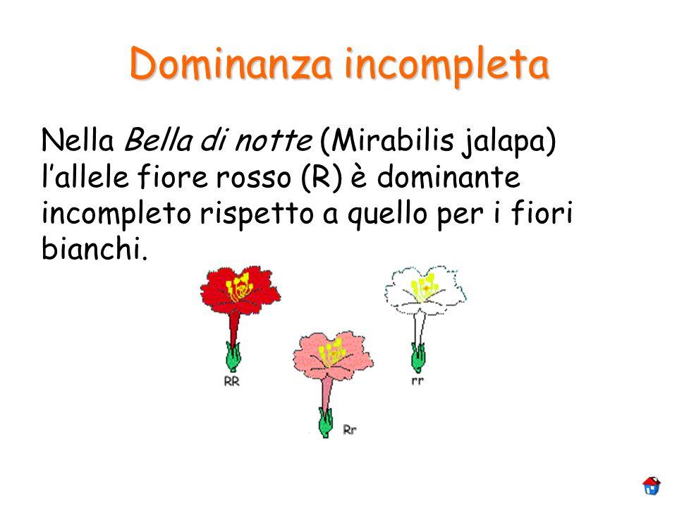 Dominanza incompleta Nella Bella di notte (Mirabilis jalapa) l'allele fiore rosso (R) è dominante incompleto rispetto a quello per i fiori bianchi.