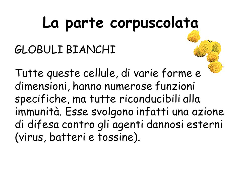 La parte corpuscolata GLOBULI BIANCHI
