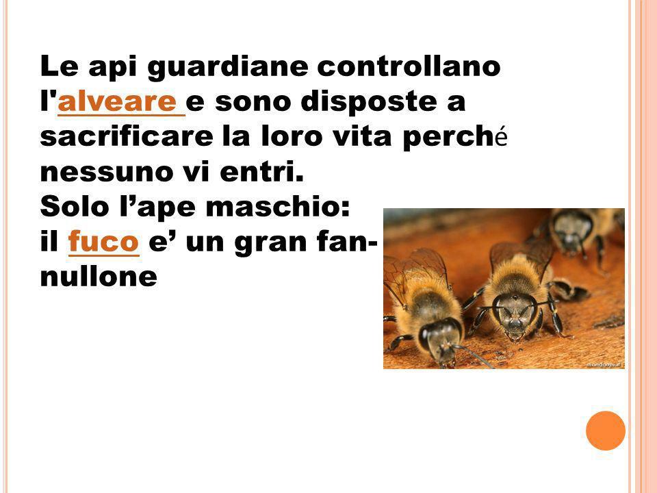Le api guardiane controllano l alveare e sono disposte a sacrificare la loro vita perché nessuno vi entri.
