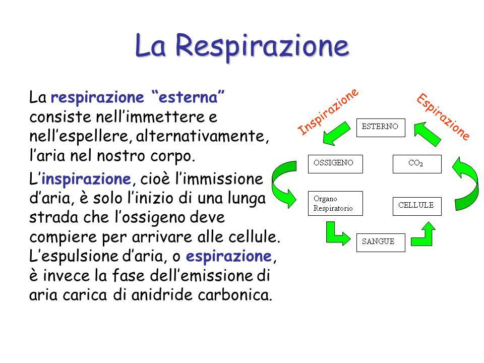 La Respirazione La respirazione esterna consiste nell'immettere e nell'espellere, alternativamente, l'aria nel nostro corpo.