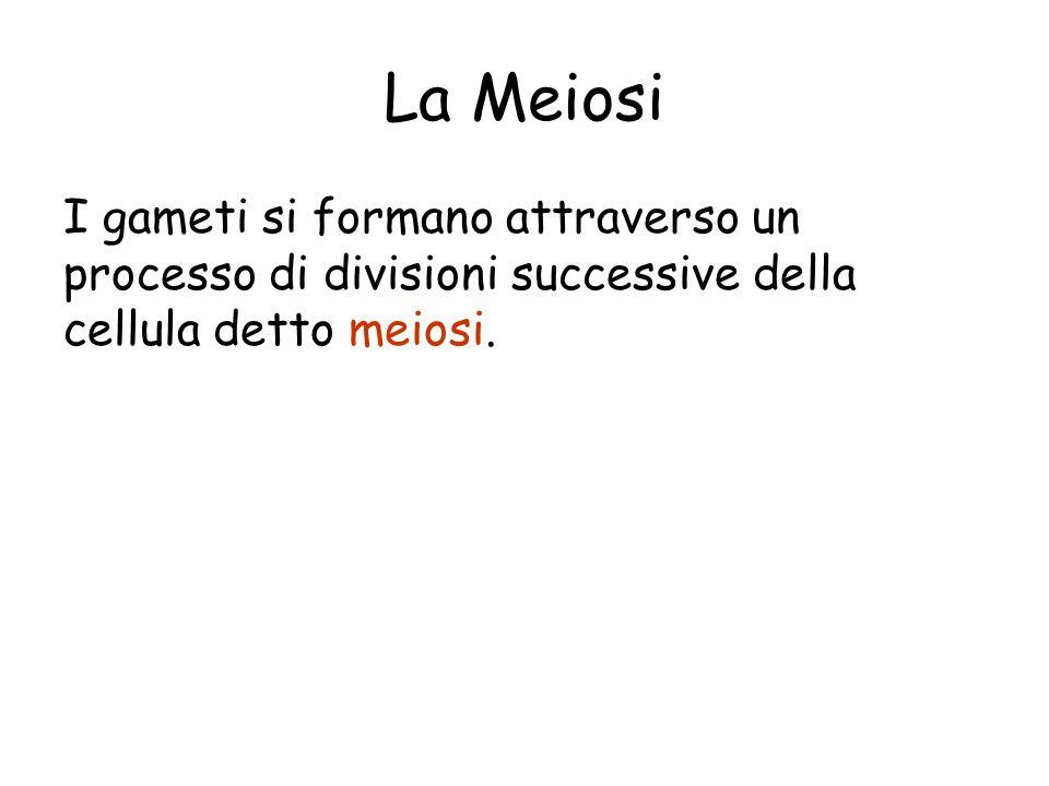 La Meiosi I gameti si formano attraverso un processo di divisioni successive della cellula detto meiosi.