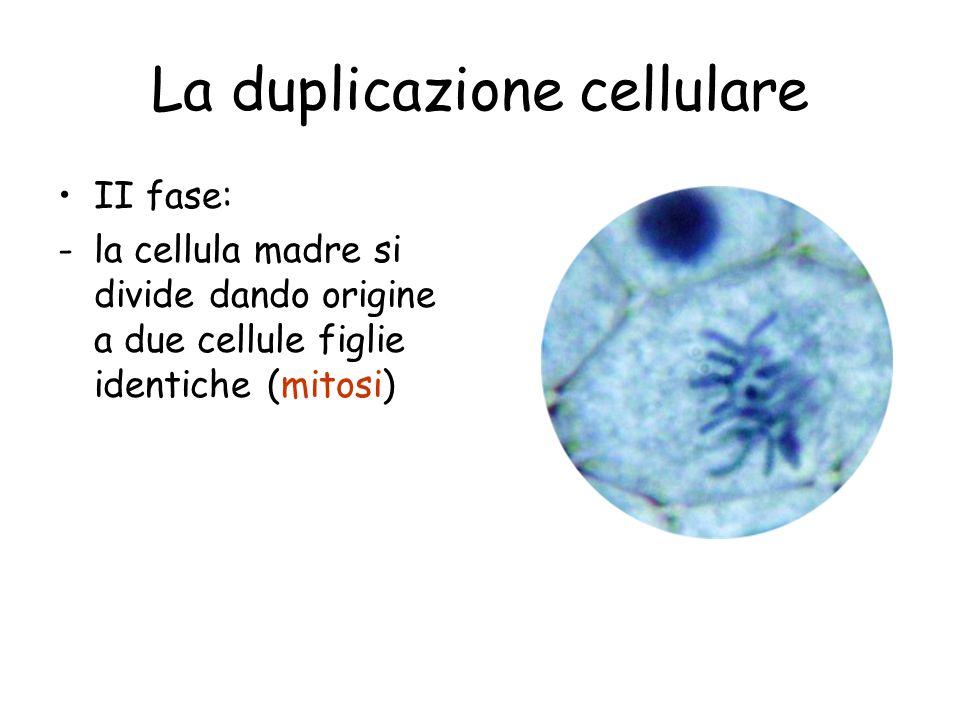 La duplicazione cellulare