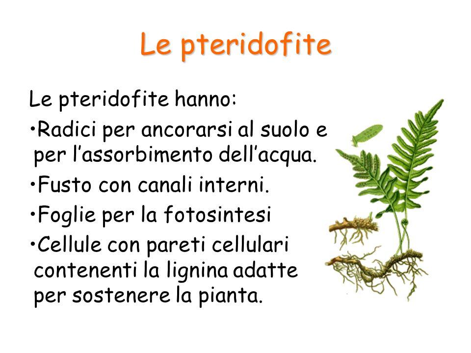 Le pteridofite Le pteridofite hanno: