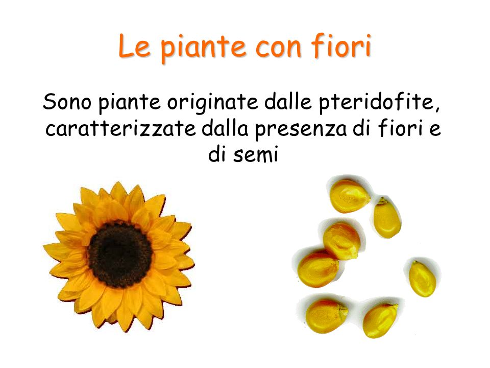 Le piante con fiori Sono piante originate dalle pteridofite, caratterizzate dalla presenza di fiori e di semi.
