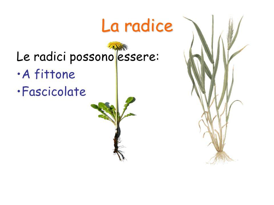 La radice Le radici possono essere: A fittone Fascicolate