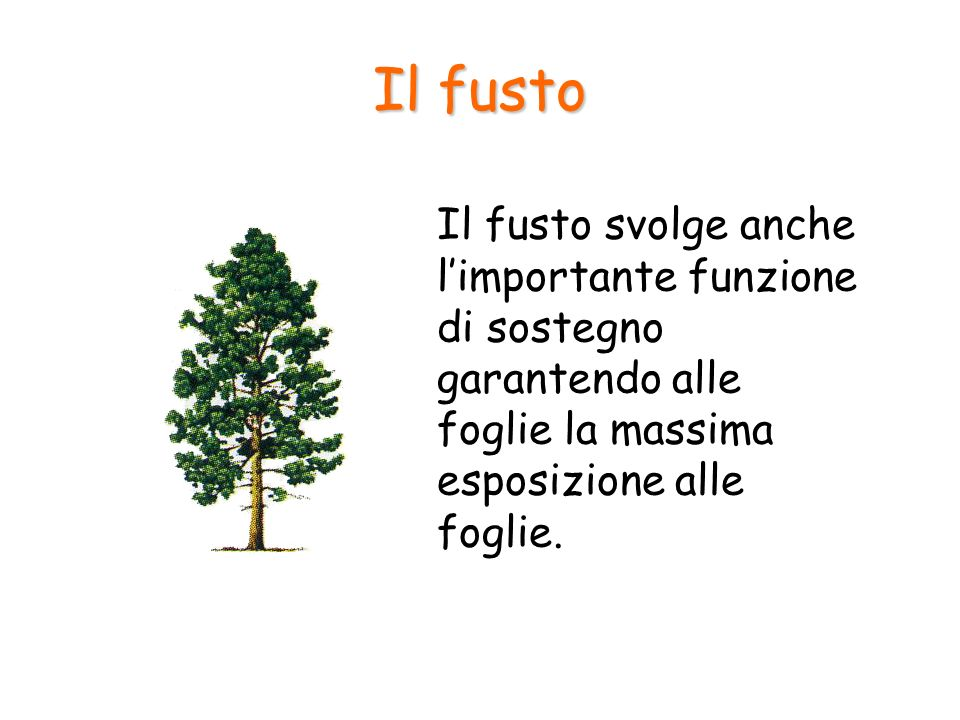 Il fusto Il fusto svolge anche l'importante funzione di sostegno garantendo alle foglie la massima esposizione alle foglie.