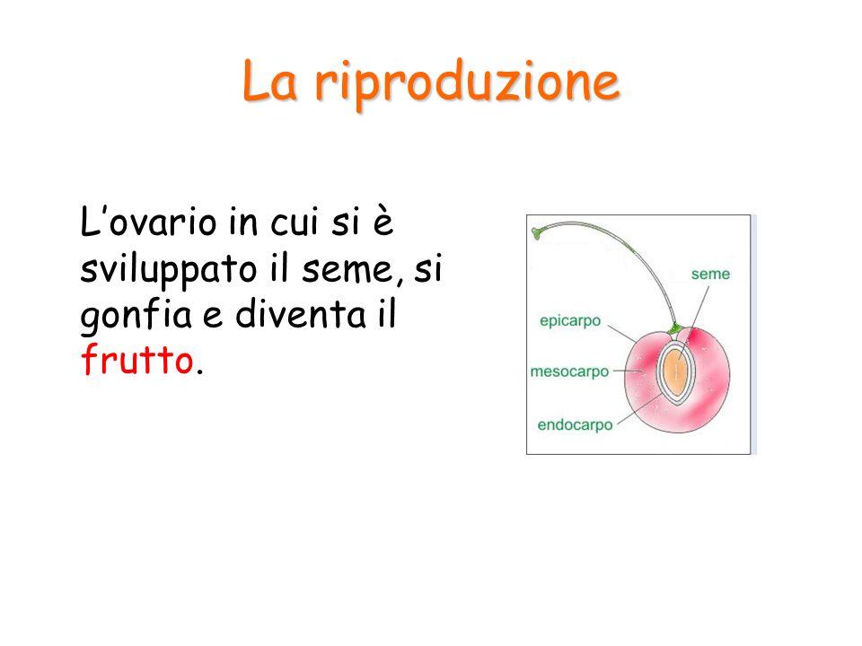La riproduzione L'ovario in cui si è sviluppato il seme, si gonfia e diventa il frutto.