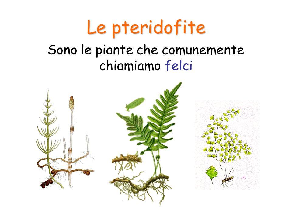 Sono le piante che comunemente chiamiamo felci