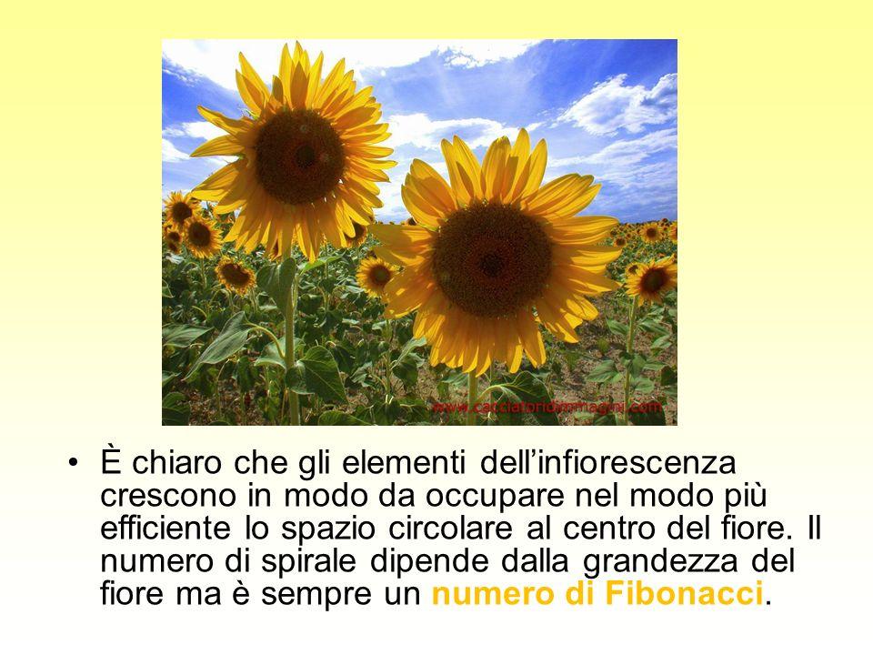 È chiaro che gli elementi dell'infiorescenza crescono in modo da occupare nel modo più efficiente lo spazio circolare al centro del fiore.
