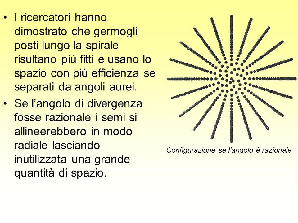 I ricercatori hanno dimostrato che germogli posti lungo la spirale risultano più fitti e usano lo spazio con più efficienza se separati da angoli aurei.