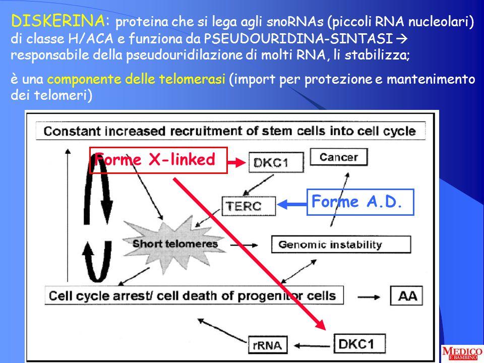 DISKERINA: proteina che si lega agli snoRNAs (piccoli RNA nucleolari) di classe H/ACA e funziona da PSEUDOURIDINA-SINTASI  responsabile della pseudouridilazione di molti RNA, li stabilizza;