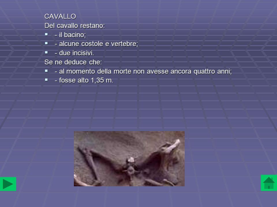 CAVALLO Del cavallo restano: - il bacino; - alcune costole e vertebre; - due incisivi. Se ne deduce che: