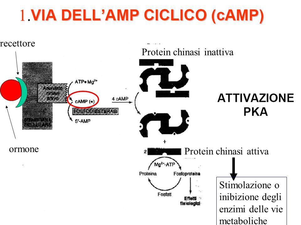 1. recettore Protein chinasi inattiva ormone Protein chinasi attiva